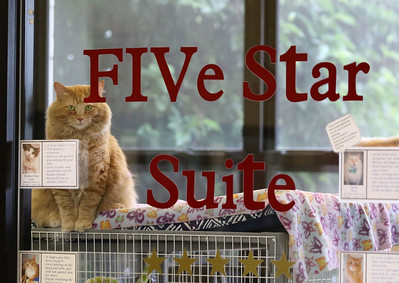 Candace H. Johnson-For Shaw Media Neptune, a six-year-old male cat, sits in the Five Star Suite window at Save-A-Pet in Grayslake. June is Adopt-A-Shelter Cat Month. There are forty cats available for adoption at Save-A-Pet, a no-kill rescue. (6/14/18)