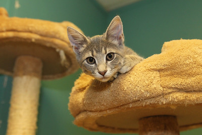 Candace H. Johnson-For Shaw Media Balloons, a twelve-week old female kitten, watches visitors in the kitten room at Save-A-Pet in Grayslake. Save-A-Pet has seven kittens and forty cats available for adoption.June is Adopt-A-Shelter Cat Month. (6/14/18)