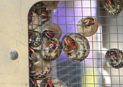 Candace H. Johnson-For Shaw Media Hermit crabs grab on to their cage as they wait to go home to the winners of the Hermit Crab game during Wauconda Fest at Cook Park in Wauconda.(6/23/18)