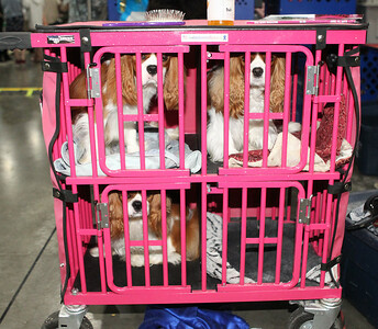 Candace H. Johnson-For Shaw Media Cavalier King Charles Spaniels stay in a trolley with a table on top to groom them during the Grayslake Summer Dog Show Cluster at the Lake County Fairgrounds in Grayslake.  Dogs from all over the world came to the dog show. (6/16/19)