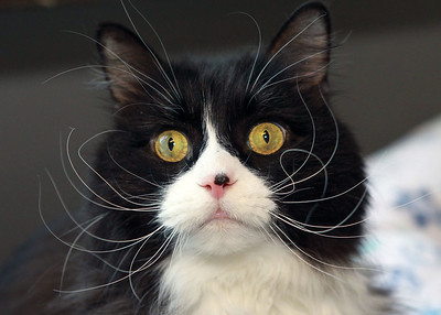 Candace H. Johnson-For Shaw Media Ziggy, a seven-year-old male, black & white longhair cat, is available for adoption at the Save-A-Pet adoption center in Grayslake. Save-A-Pet, a non-profit organization, is the largest no-kill cat and dog rescue in Lake County.  (6/1/20)