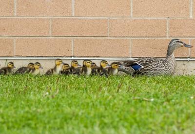hnews_wed0513_Ducks2.jpg