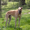 knews_thu_504_SG_GreyhoundRescue5