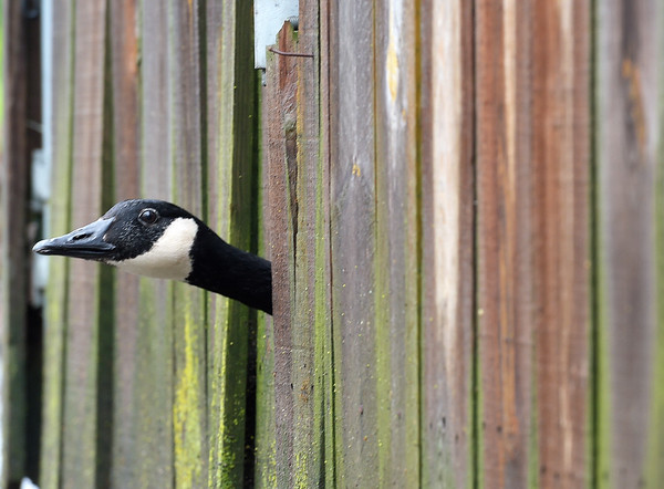 Lucy the goose sticks her head out from behind a fence at the Fox Valley Wildlife Center on April 30, while people bring donations during the center's annual Wild Baby Shower. Over the course of the season the Fox Valley Wildlife Center will often receive cottontail rabbits, opossums, squirrels, raccoons, songbirds, fauns and raptors to take care of and then release after they have been nurtured.