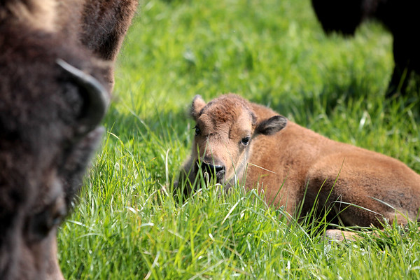 Baby bison and their parents roam their field on the campus of Fermilab near Batavia, where 14 baby bison are expected to be born this spring.