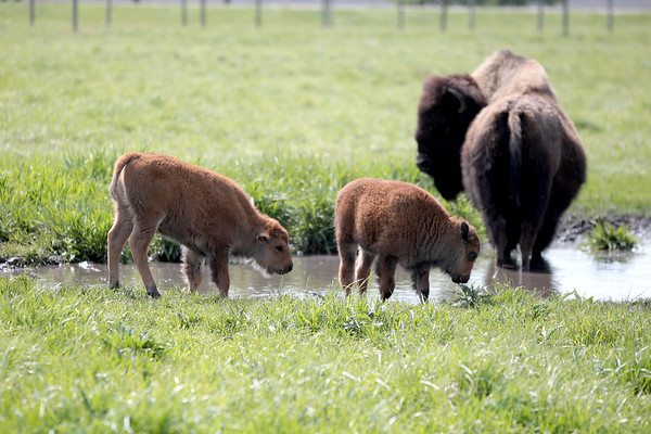 knews_thu_518_ALL_BabyBison6
