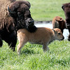 knews_thu_518_ALL_BabyBison5