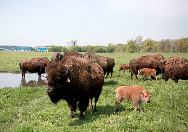 knews_thu_518_ALL_BabyBison1