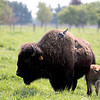 knews_thu_518_ALL_BabyBison7