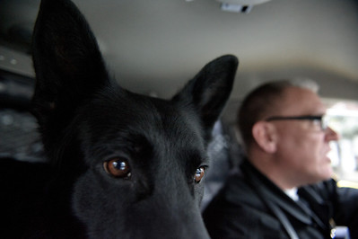 Daniel J. Murphy - dmurphy@shawmedia.com  The Marengo police dog, Shadow, on patrol with Sgt. Riley Thursday March 1, 2012 in Marengo. The department putting the word out that donations are welcome to help fund Shadow's continued training.