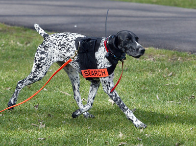 Liebchen a German short haired pointer of Crystal Lake tracks a scent Sunday, March 18, 2012  during a Illinois Wisconsin Search and Rescue Dogs training exercise in Hononegah Forest Preserve near Rockton, Il. (AP Photo - Northwest Herald/ H. Rick Bamman) ***CHICAGO LOCALS OUT***