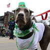 Jeff Krage — For the Kane County Chronicle<br /> Remi from Illinois Doberman Rescue Plus walks in Saturday's St. Patrick's Day parade in St. Charles.<br /> St. Charles 3/16/13