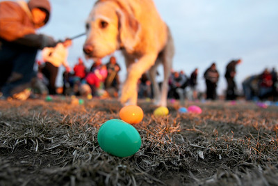 Monica Maschak - mmaschak@shawmedia.com Miniature labrador Bentley, 5, and owner Brandon Schnowske, of Cary, make a mad dash for eggs at the start of the Dog Egg Hunt at Hoffman Park in Cary. Inside every egg was a dog treat.