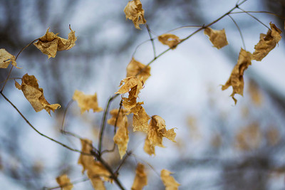 Kyle Grillot - kgrillot@shawmedia.com   Dried leaves cling to their branches during the annual Festival of the Sugar Maples at Coral Woods Conservation Area Saturday in Marengo.
