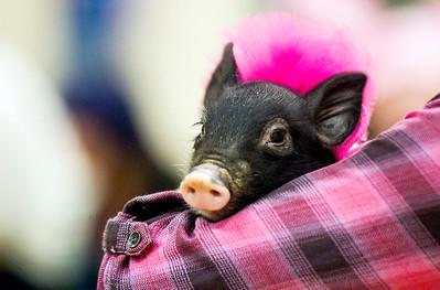 hnews_wed0302_Kiss_Pig5.jpg