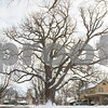dnews_2_adv_OldestParkwayTree