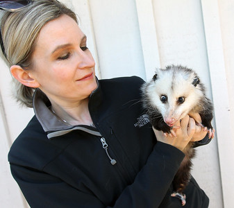 Candace H. Johnson-For Shaw Media Jessica Reedy, co-founder of Animal Quest, holds Opal, an opossum at her home in Antioch.