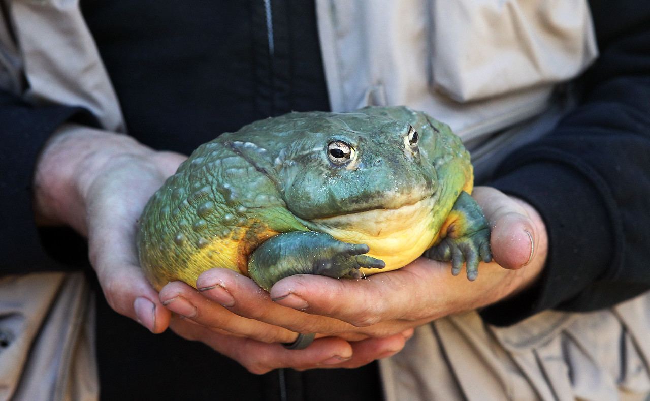 Candace H. Johnson-For Shaw Media Steve Reedy, co-founder of Animal Quest, holds Blotus, a giant African bullfrog at his home in Antioch.