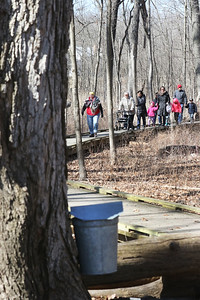 Candace H. Johnson-For Shaw Media Janice Rinehart, of Lindenhurst leads the way towards a bucket on a sugar maple tree dripping sap into it and used to make maple syrup during a Maple Syrup Hike at Ryerson Woods in Riverwoods.(3/11/18)