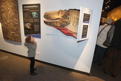 Candace H. Johnson-For Shaw Media Hayden Cole, 3, of Libertyville looks up at a model of a Dryptosaurus dinosaur head during the Grand Opening of the Dunn Museum located in the General Offices of the Lake County Forest Preserves on Winchester Road in Libertyville.(3/24/18)