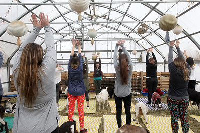 Candace H. Johnson-For Shaw Media Instructor Cynthia Narcisi, of Evanston (center) teaches a Goat Yoga class during Girls Day on the Farm at Kamins Farm Sanctuary in Grayslake. (3/2/19)