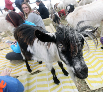 Candace H. Johnson-For Shaw Media A goat walks around in the Goat Yoga class during Girls Day on the Farm at Kamins Farm Sanctuary in Grayslake. (3/2/19)