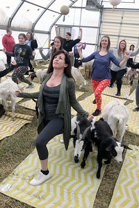 Candace H. Johnson-For Shaw Media Amy Lichtenstein, of Grayslake (in front) takes a Goat Yoga class during Girls Day on the Farm at Kamins Farm Sanctuary in Grayslake. (3/2/19)