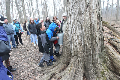 Candace H. Johnson-For Shaw Media Stancia Kalmus, of Lincolnshire, a volunteer, stops at a sugar maple tree where sap is being collected as she leads a maple syrup hike at Ryerson Woods in Riverwoods. Ryerson Woods is part of the Lake County Forest Preserves. (3/24/19)