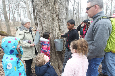 Candace H. Johnson-For Shaw Media Stancia Kalmus, of Lincolnshire, a volunteer, stops at a sugar maple tree where sap is collected and answers questions as she lead a group on a maple syrup hike at Ryerson Woods in Riverwoods. Ryerson Woods is part of the Lake County Forest Preserves. (3/24/19)