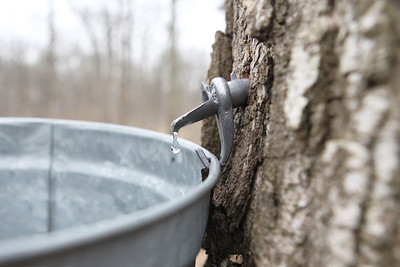Candace H. Johnson-For Shaw Media Sap collected from a sugar maple tree using a spile is on display during a maple syrup hike at Ryerson Woods in Riverwoods. Ryerson Woods is part of the Lake County Forest Preserves. (3/24/19)