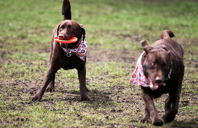 Kyle Grillot - kgrillot@shawmedia.com   Chocolate lab brothers Murphy and Wrigley (right) fight for a toy at the bark in the park event at the Lake in the Hills Dog Park on Saturday, MAy, 4, 2013. The event allows dogs and their owners to enjoy the 10-acre off-leash park with various activities going on throughout the day.