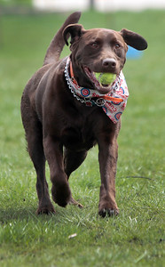 Kyle Grillot - kgrillot@shawmedia.com   Murphy the chocolate lab retrieves a tennis ball at the bark in the park event at the Lake in the Hills Dog Park on Saturday, MAy, 4, 2013. The event allows dogs and their owners to enjoy the 10-acre off-leash park with various activities going on throughout the day.