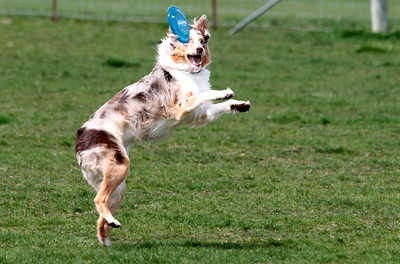 Kyle Grillot - kgrillot@shawmedia.com   Bella the Australian Shepard jumps for a frisbee at the bark in the park event at the Lake in the Hills Dog Park on Saturday, MAy, 4, 2013. The event allows dogs and their owners to enjoy the 10-acre off-leash park with various activities going on throughout the day.