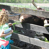 Elizabeth McLaughlin, 6, of St. Charles, feeds an ox grass Sunday at the Garfield Farm Museum's 28th rare breeds show.