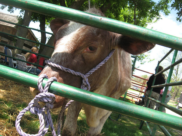A milking shorthorn heifer is on display Sunday at Garfield Farm Museum's 28th rare breeds show.