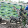 Visitors to Garfield Farm Museum on Sunday watch 3-month-old Berkshire hogs during the 28th rare breeds show.