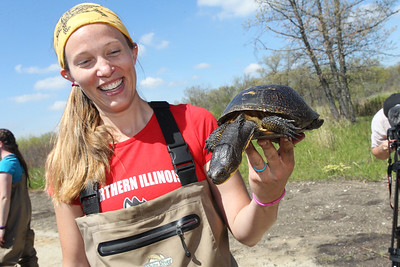 Candace H. Johnson-For Shaw Media Callie Golba, of Elmhurst, a graduate research assistant with Northern Illinois University, holds a Blanding's turtle before releasing it into local wetlands in northeast Lake County along Lake Michigan for the Lake County Forest Preserves Blanding's Turtle Recovery Program.(5/23/18)