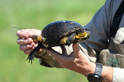 Candace H. Johnson-For Shaw Media Gary Glowacki, a wildlife biologist with the Lake County Forest Preserves, shows a Blanding's turtle between twenty and thirty years old with a radio transmitter which emits a unique frequency to track the turtle in the wild as part of the Blanding's Turtle Recovery Program in northeast Lake County along Lake Michigan. Fifty-four turtles in the wetlands released by the Lake County Forest Preserves have a transmitter.(5/23/18)