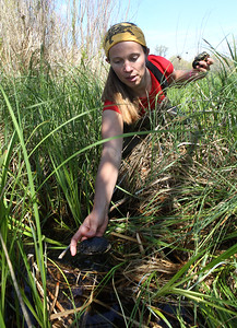 Candace H. Johnson-For Shaw Media Callie Golba, of Elmhurst, a graduate research assistant with Northern Illinois University, puts a Blanding's turtle hatchling into local wetlands in northeast Lake County along Lake Michigan for the Lake County Forest Preserves Blanding's Turtle Recovery Program.(5/23/18)
