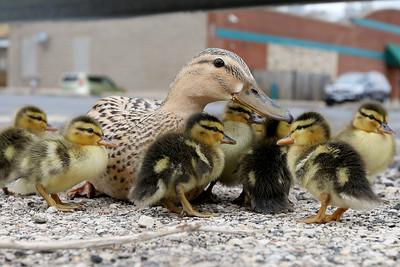 hnews_0503_Duck_Rescue