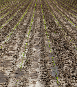 Corn starts to sprout but the rain from the wettest May on record has taken its toll on this years' growing season. Photo from the Brandon Walter farm in Harvard, IL, May 31, 2019. KKoontz – For Shaw Media