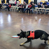 Jeff Krage – For the Kane County Chronicle<br /> Odin from the Search & Rescue Dogs of Illinois is rewarded after finding a subject during Saturday's Chicago Pet Show at the Kane County Fairgrounds.<br /> St. Charles 11/10/12