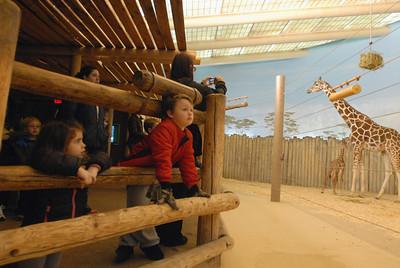 Baby giraffe at Brookfield Zoo