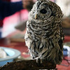"""Jeff Krage – For the Kane County Chronicle<br /> An owl named Captain Jack was part of Saturday's """"Wild About Wildlife"""" at Fifth-Third Bank Ballpark.<br /> Geneva 10/13/12"""