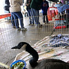 "Jeff Krage – For the Kane County Chronicle<br /> A Canadian Goose was part of Saturday's ""Wild About Wildlife"" at Fifth-Third Bank Ballpark.<br /> Geneva 10/13/12"