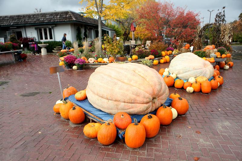 knews_adv_GiantPumpkin2