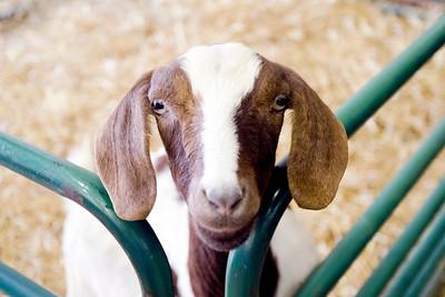 hnews_adv_Cubs_Goat_02.jpg