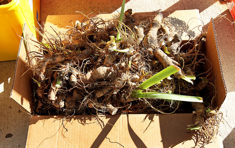 Candace H. Johnson-For Shaw Media Iris rhizomes sit in a box waiting to be planted for the Irises of Island Lake project next to the Village Hall in Island Lake. The donation of rhizomes came from Chicago. This is the second year of iris planting for this village beautification project.