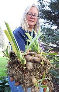 Candace H. Johnson-For Shaw Media Sandy Doehler, trustee, holds a bunch of iris rhizomes before planting them outside of the Village Hall for the Irises of Island Lake project in Island Lake.