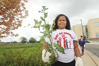 Candace H. Johnson-For Shaw Media Stanton Middle School's Mya Clark, 10, of Fox Lake shows off a weed she pulled outside of Grant Community High School in Fox Lake during the Fox Lake Grade School District 114's 4th Annual Day of Service. (9/28/18)